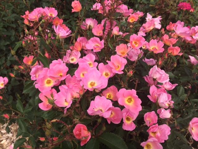 羽幌薔薇園16
