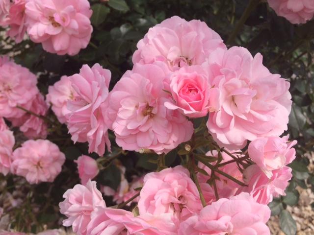 羽幌薔薇園17