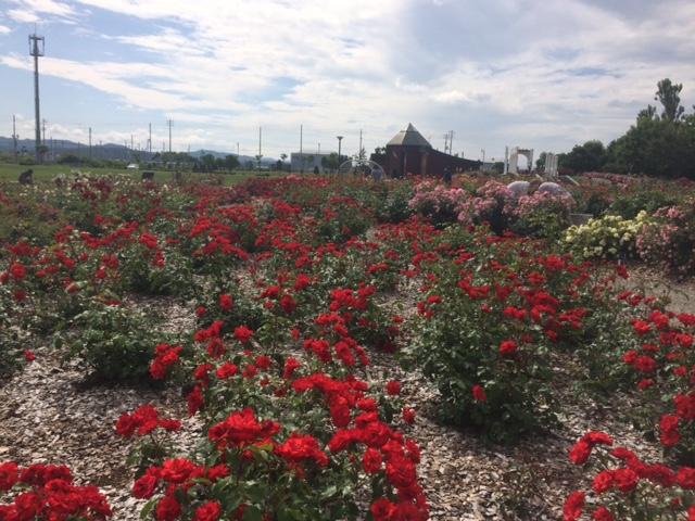 羽幌薔薇園18