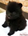 ポメラニアン 黒 子犬