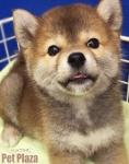 柴犬赤160208-1