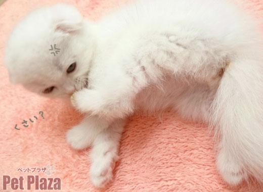 スコティッシュ 白 子猫 大阪府高槻市 京都