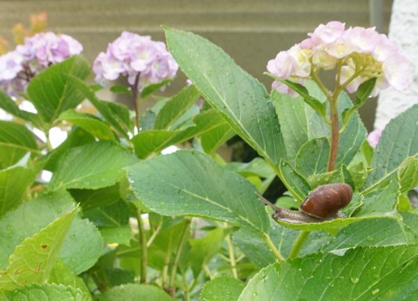 16_07_02紫陽花と蝸牛A