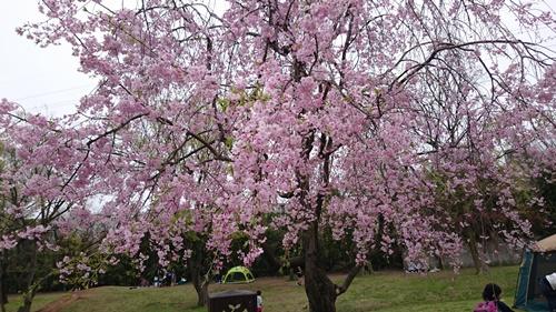 201604 春のお花見DSC_2298