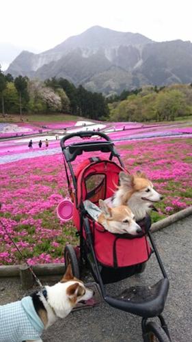 20160417 芝桜cached2147115469