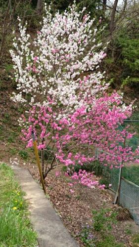 20160417 芝桜cached-1250265595