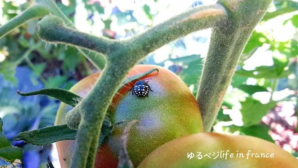 トマトの虫