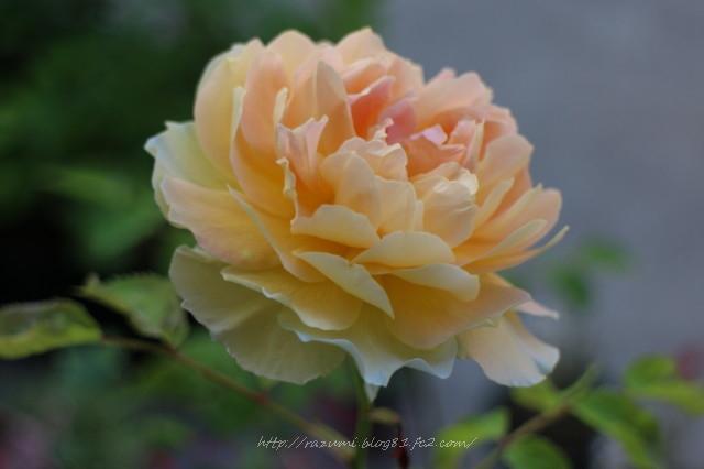 薔薇 モリニュー