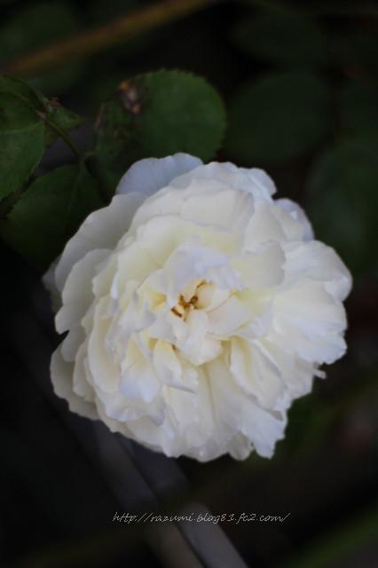 薔薇 ウィンチェスター キャンドラル