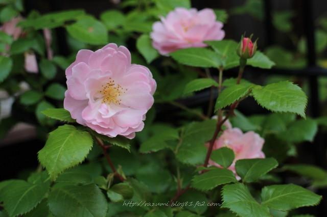 薔薇 マドモアゼル