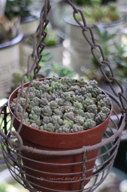 多肉植物 ブレビフォリウム