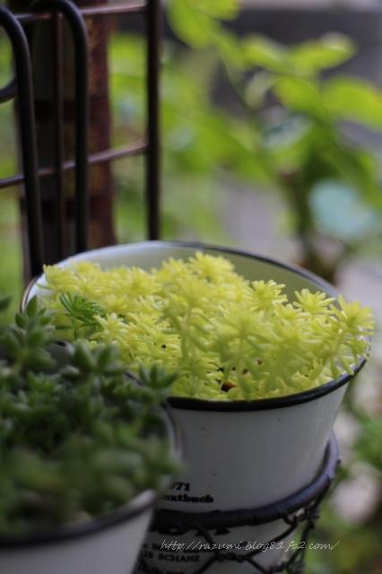 多肉植物 細葉黄金万年草
