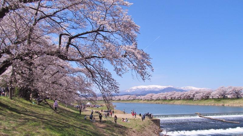 一目千本桜2014 (800x450)