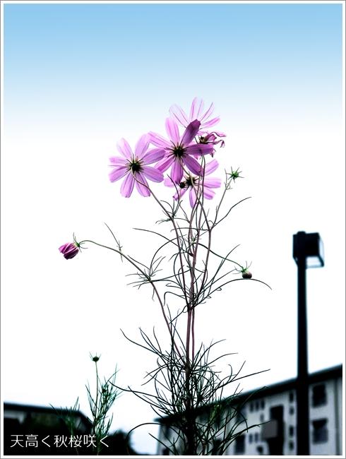 480秋桜IMG_1286s