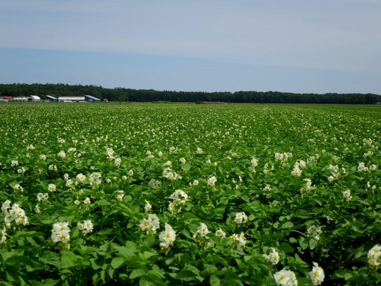 ジャガイモ畑1160706