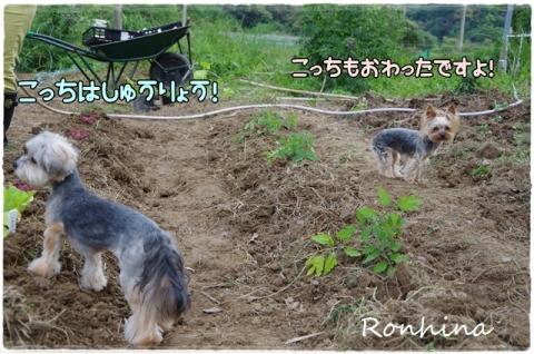 野菜を植える⑩