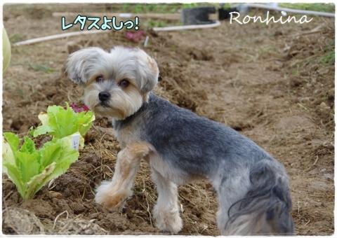 野菜を植える⑦