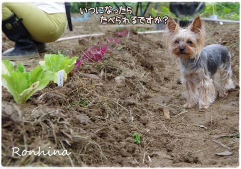 野菜を植える⑥