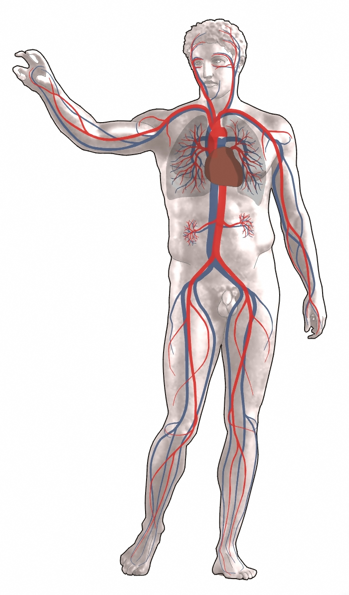Blutkreislauf.png