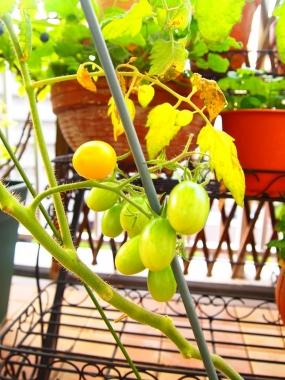 petit tomato aiko