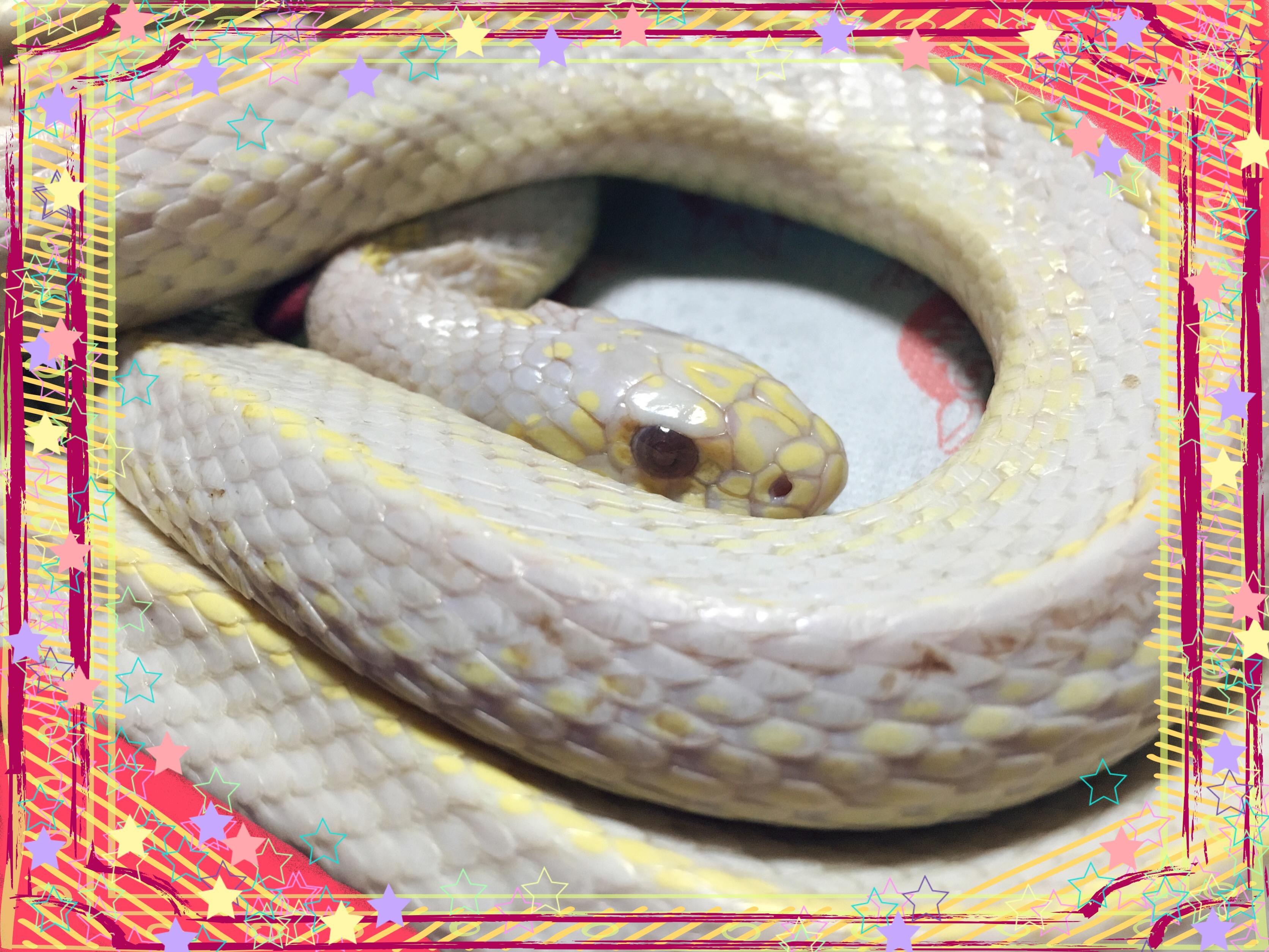 アルちゃん アルちゃんとチルチル 白蛇とセキセイインコ 龍虎ブログえすかるGO