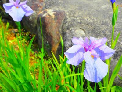 菖蒲の花2016