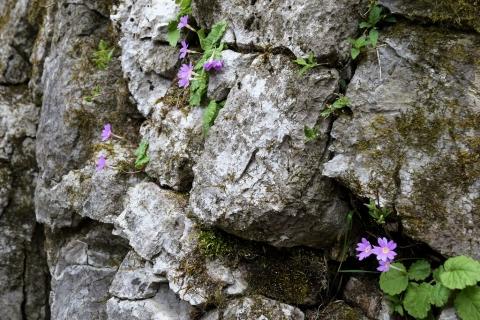 岩場に咲く