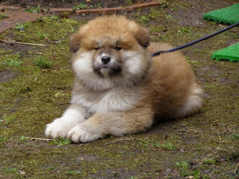 チャロ子犬1