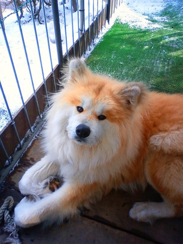 チャロ子犬4