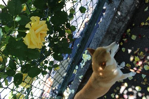 あたご薔薇園8