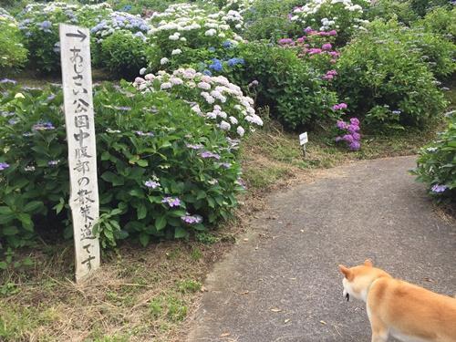 あじさい公園2