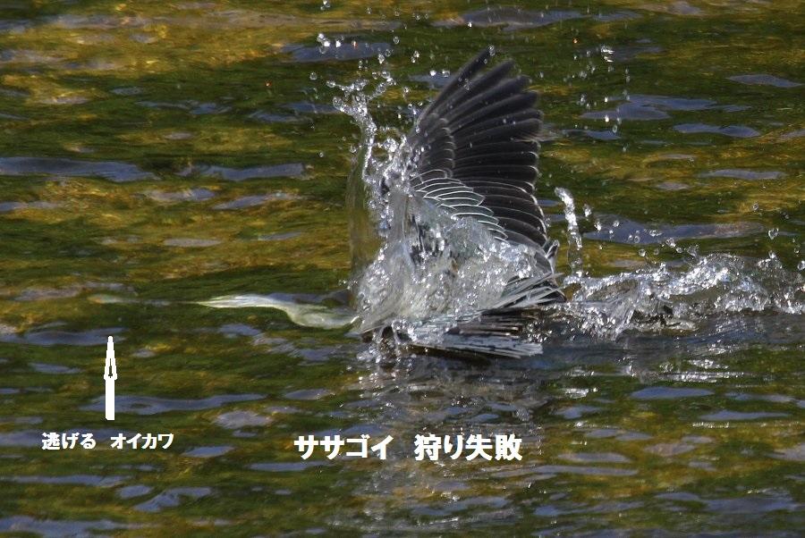 ササゴイ2016-7枚方市-天の川IMG_0728