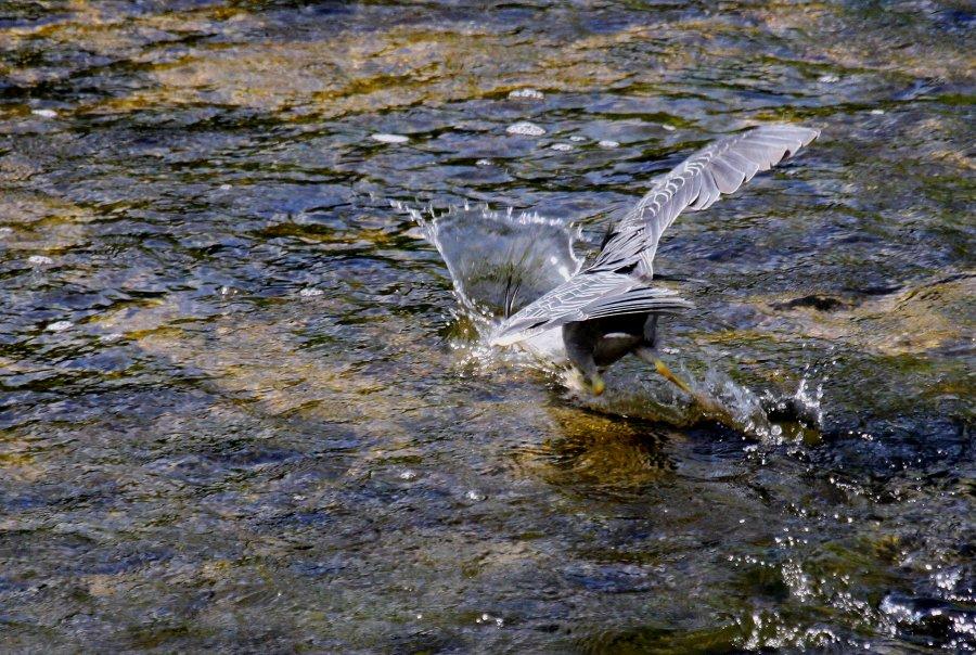 ササゴイ2016-8-7-3-T枚方市-天の川IMG_0092