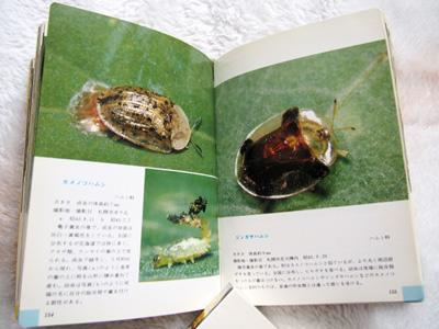 北海道の昆虫 ジンガサハムシ