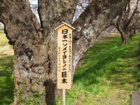 船岡白石川堤桜2016_11さくら回廊日本一ソメイヨシノ巨木?