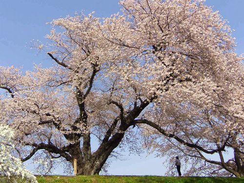 船岡白石川堤桜2016_12さくら回廊日本一ソメイヨシノ巨木?