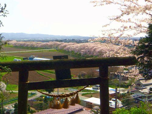 南方千本桜8石神社