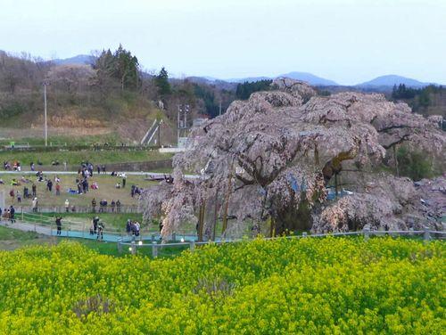 三春滝桜2016 1 夕方