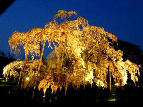 三春滝桜2016 3 ライトアップ