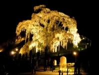 三春滝桜2016 5 ライトアップ