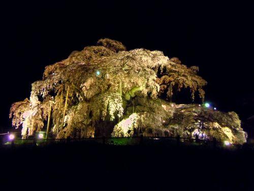 三春滝桜2016 6 ライトアップ