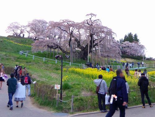 三春滝桜2016 11 到着