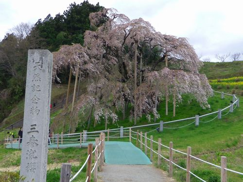三春滝桜2016 15 朝