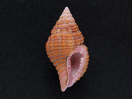 クチビルホラダマシ-腹面