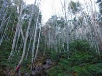 登山道の白樺林
