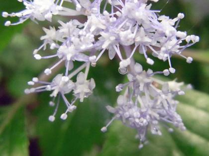 コアジサイ花062