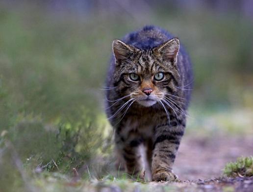 __wild cat0000