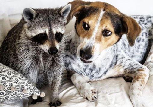 _pet-raccoon (1)