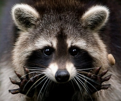 _pet-raccoon 0