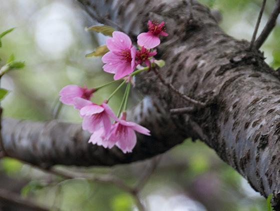 ピンク桜_2371